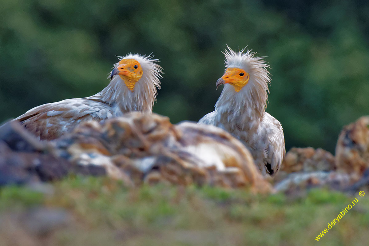 Стервятник Neophron percnopterus Egyptian Vulture