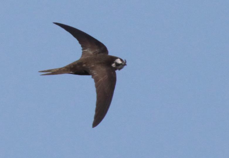небольшая птица рода стрижей, семейства стрижиные.