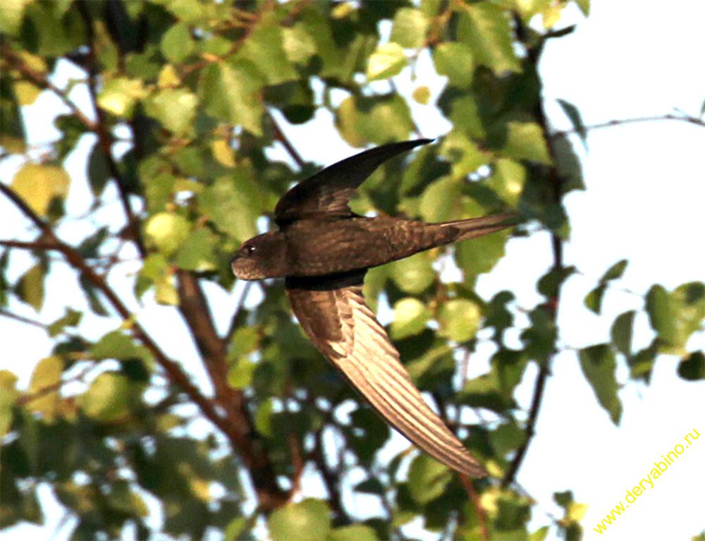 Стриж Apus apus Common Swift
