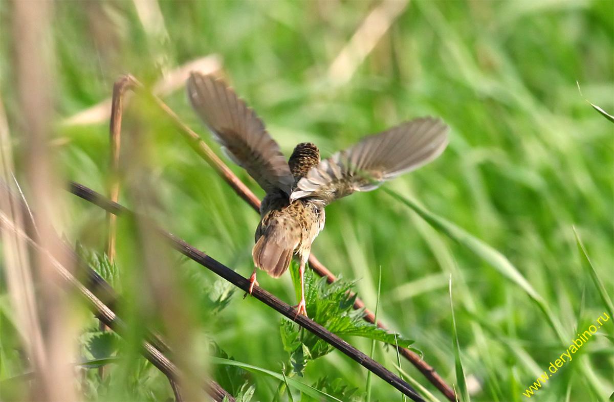 Сверчок обыкновенный Grasshopper Warbler Locustella naevia