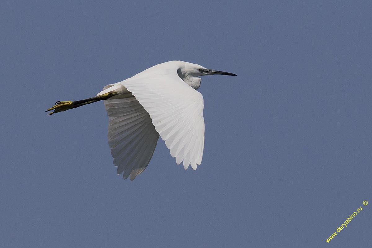Цапля малая белая Egretta garzetta Little Egret