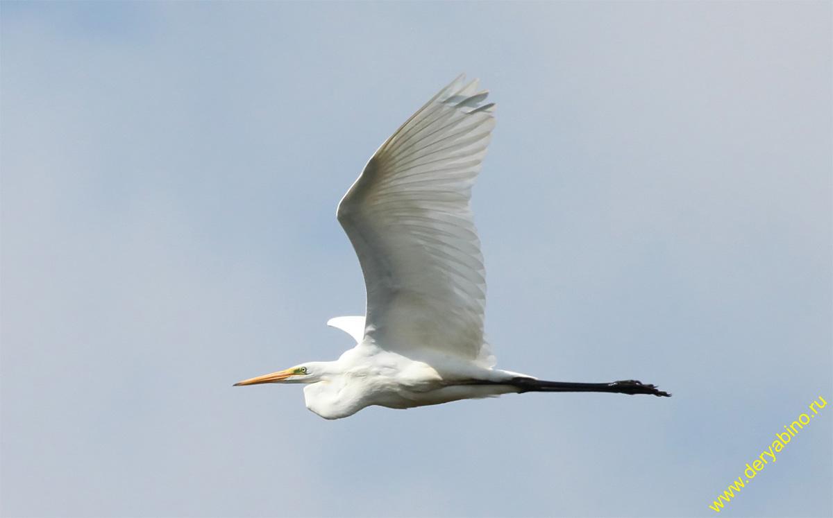 Большая белая цапля Egretta alba Great Egret