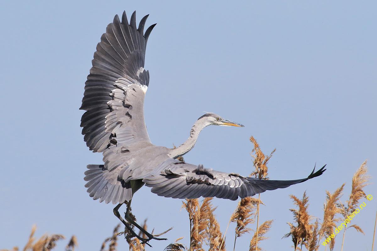 Серая цапля Ardea cinerea Grey Heron