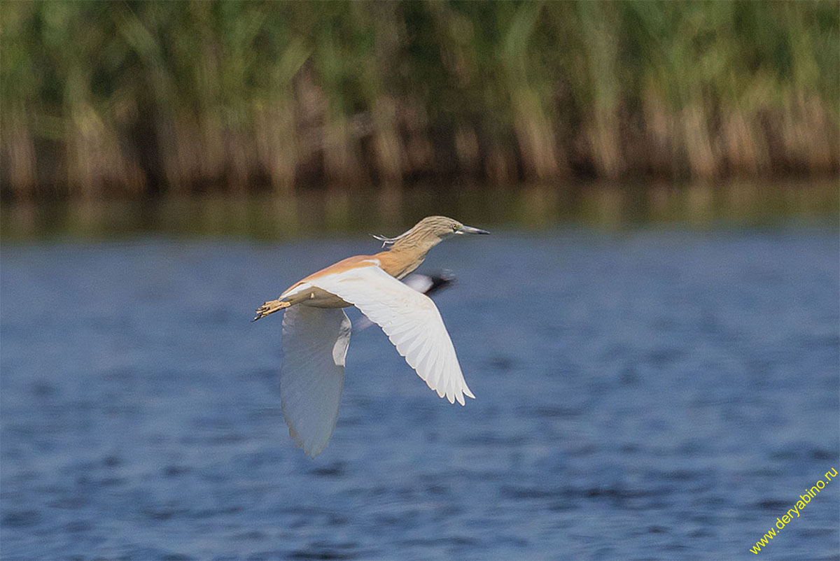 Жёлтая цапля Ardeola ralloides Squacco heron