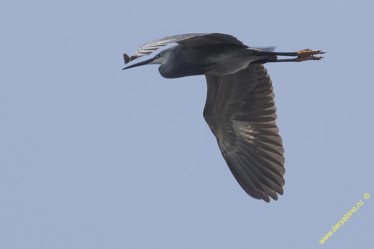 Рифовая цапля Egretta sacra Pacific reef heron