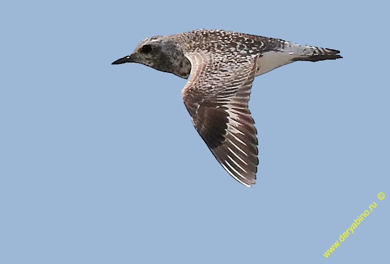 Тулес Pluvialis squatarola Grey Plover