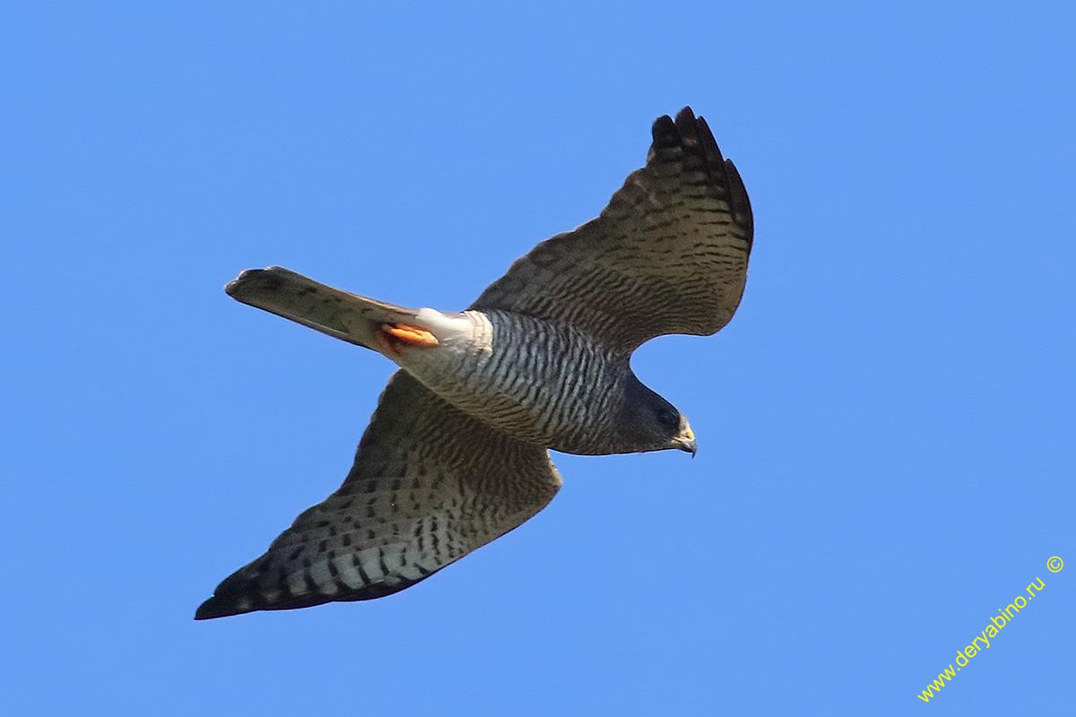 Тювик европейский Accipiter brevipes Levant sparrowhawk