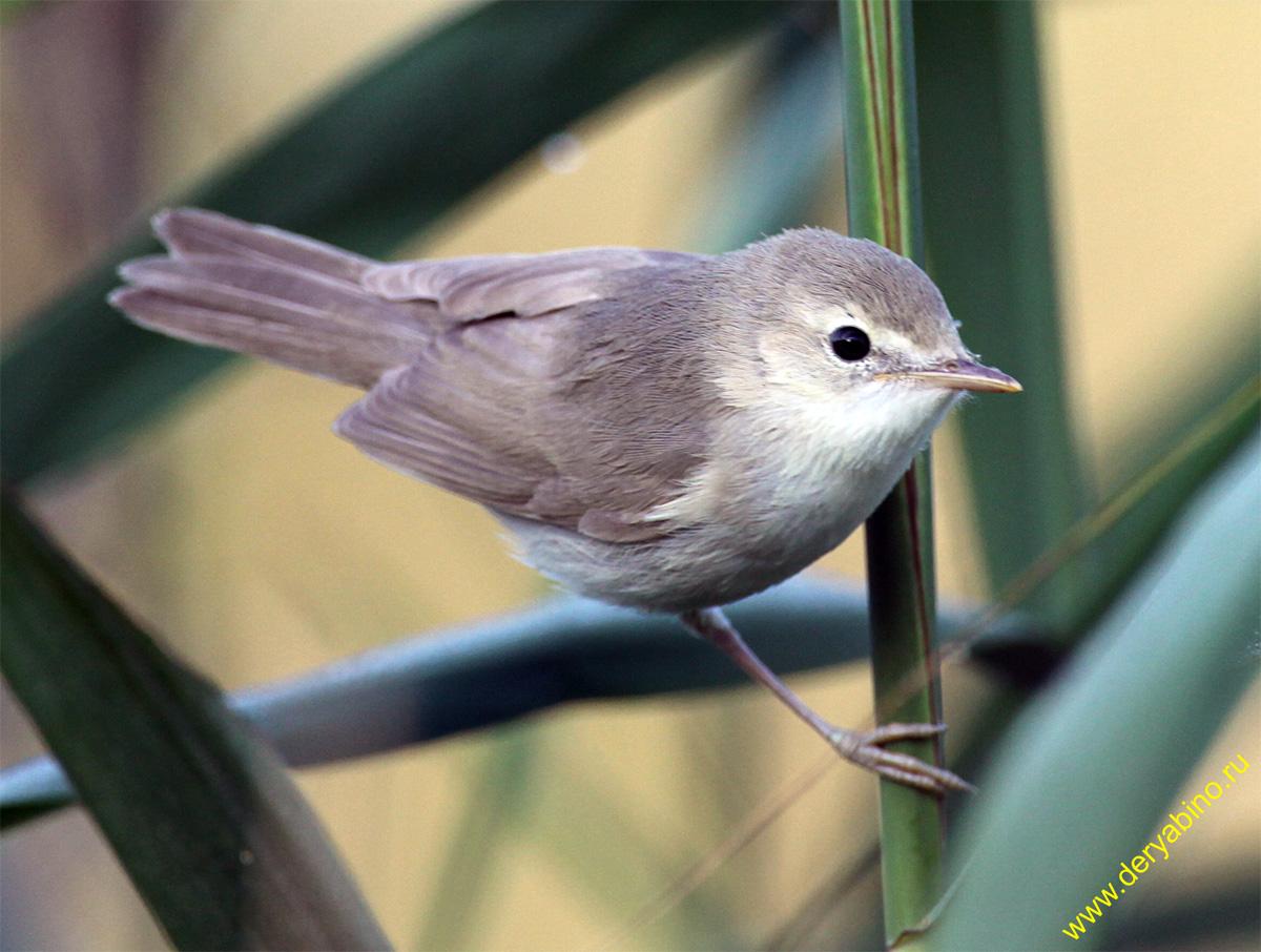 Пеночка-весничка Phylloscopus trochilus Willow Warbler