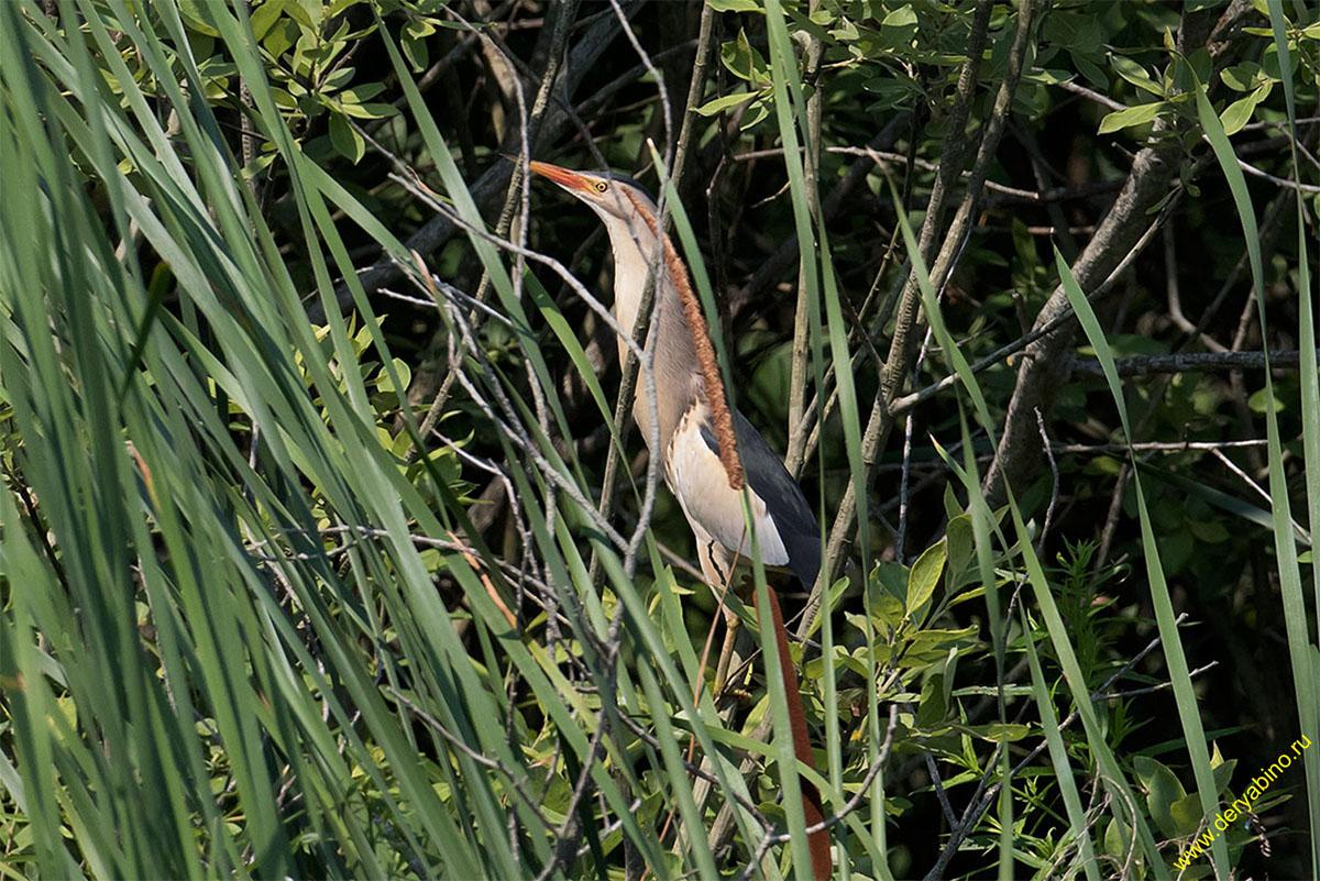 Малая выпь (волчок) Ixobrychus minutus Little Bittern