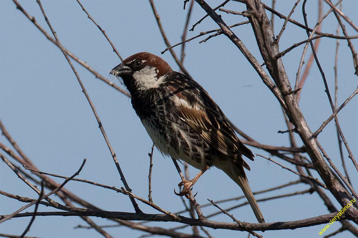 Испанский черногрудый воробей Passer hispaniolensis Spanish sparrow