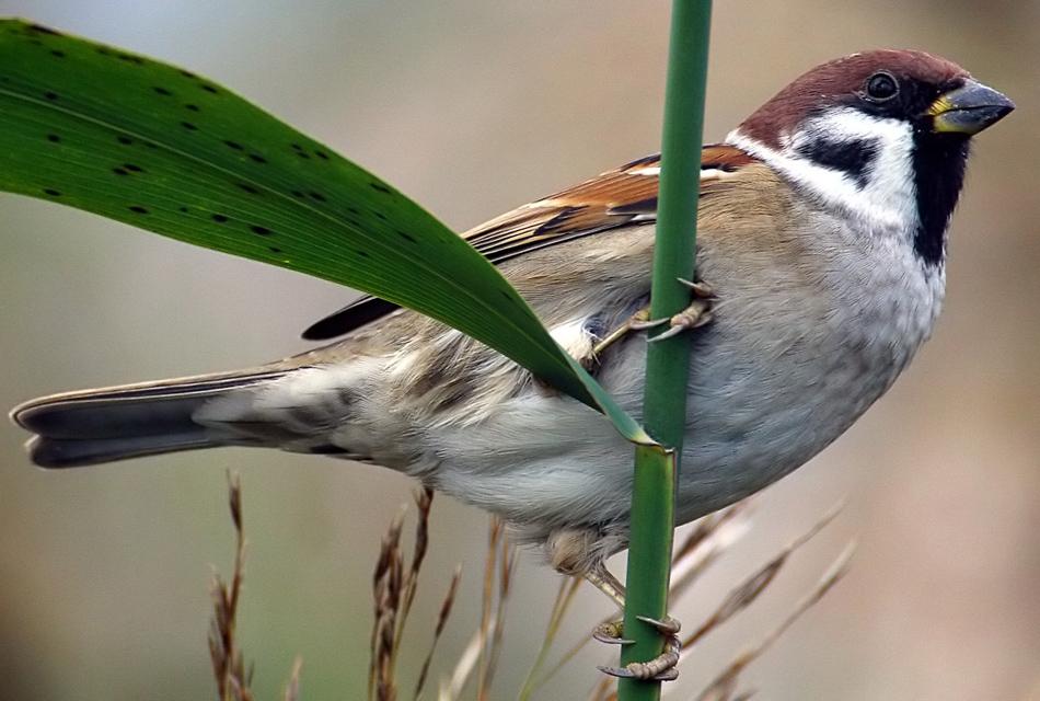 Воробей полевой Passer montanus Eurasian Tree Sparrow