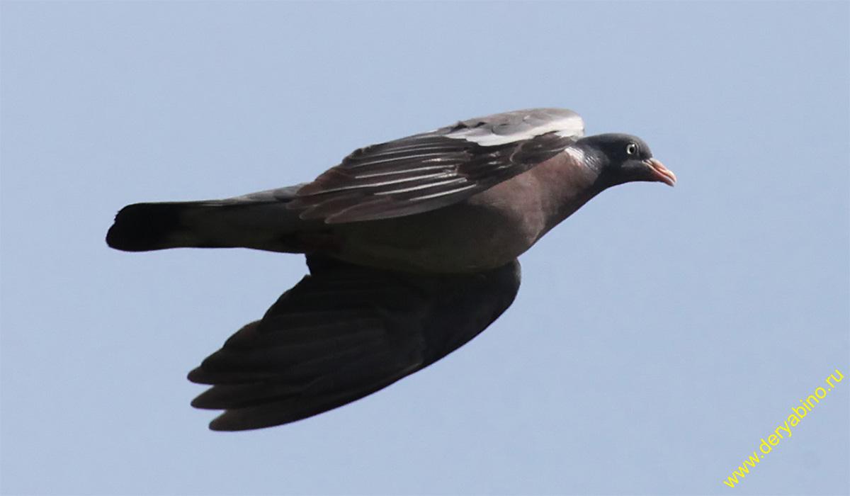 Вяхирь Columba palumdus Wood Pigeon