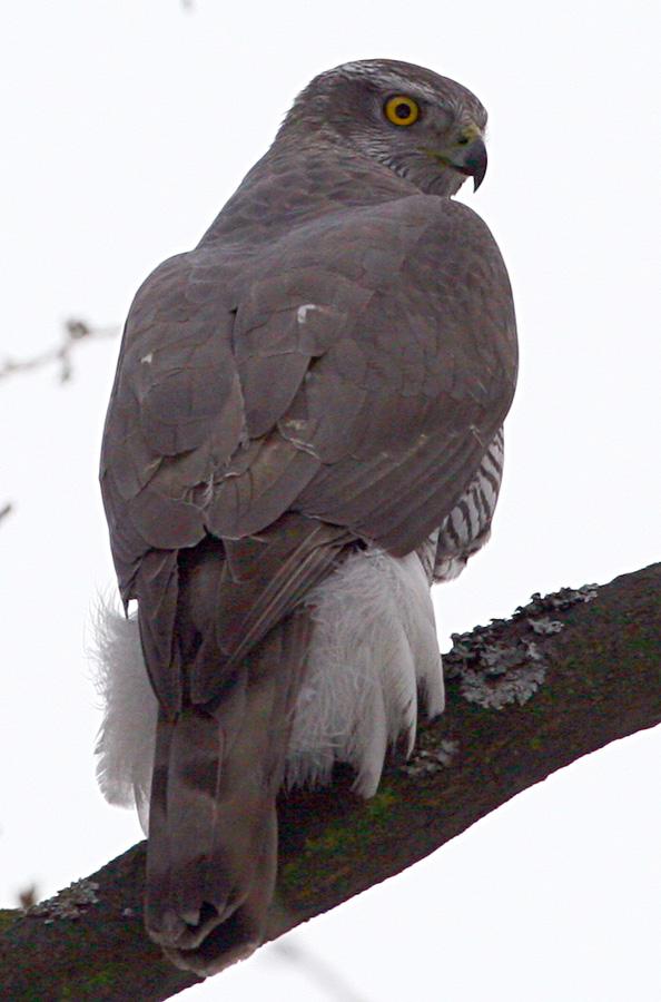 Ястреб-тетеревятник Accipiter gentilis Northern Goshawk