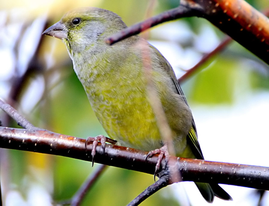 Зеленушка Chloris chloris European Greenfinch