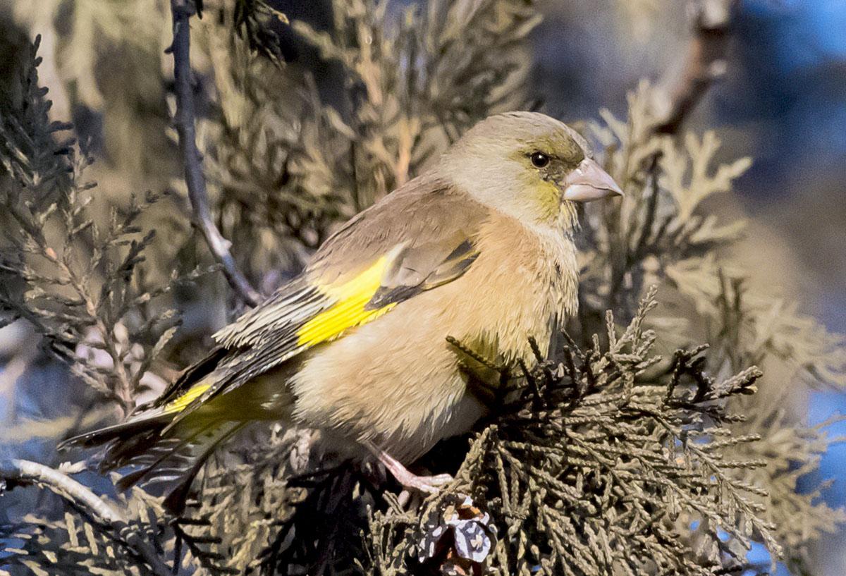 Зеленушка китайская Carduelis sinica Grey-capped greenfinch