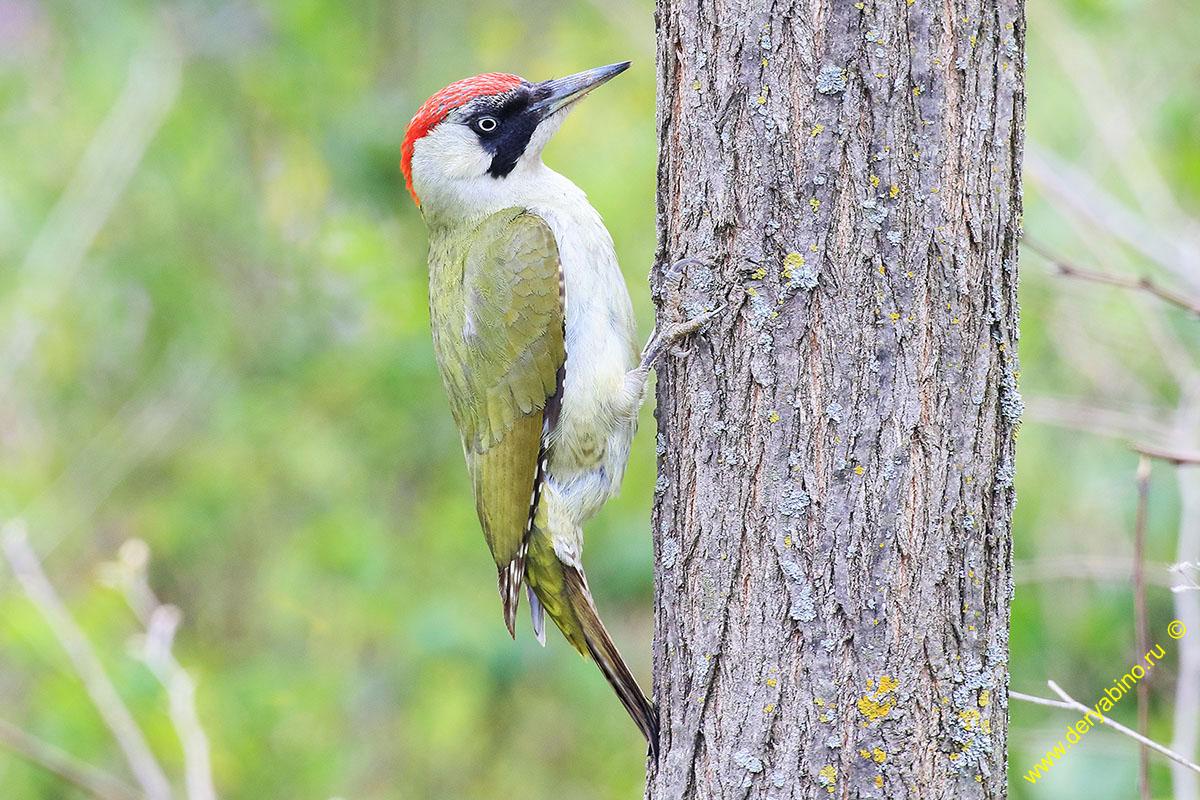 Зеленый дятел Picus viridis Green Woodpecker