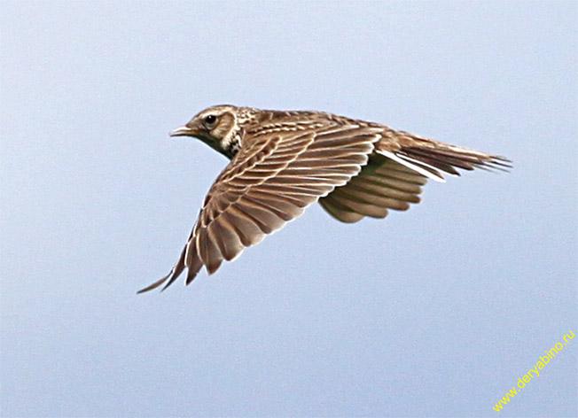 Полевой жаворонок Alauda arvensis Eurasian Sky Lark