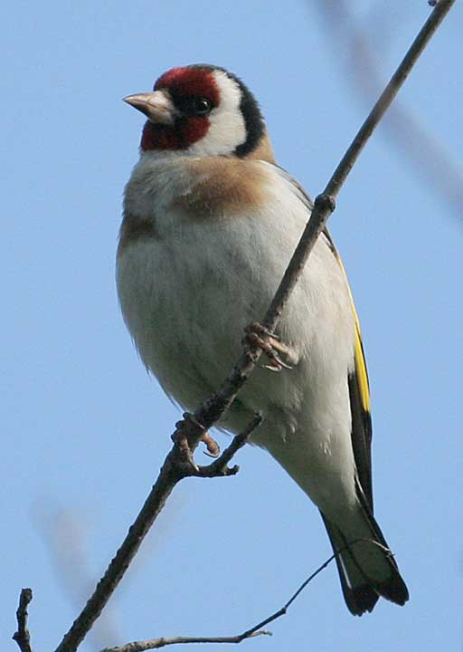Щегол Carduelis carduelis European Goldfinch