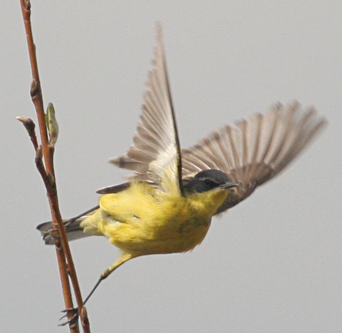 Желтая трясогузка Motacilla flava Yellow Wagtail