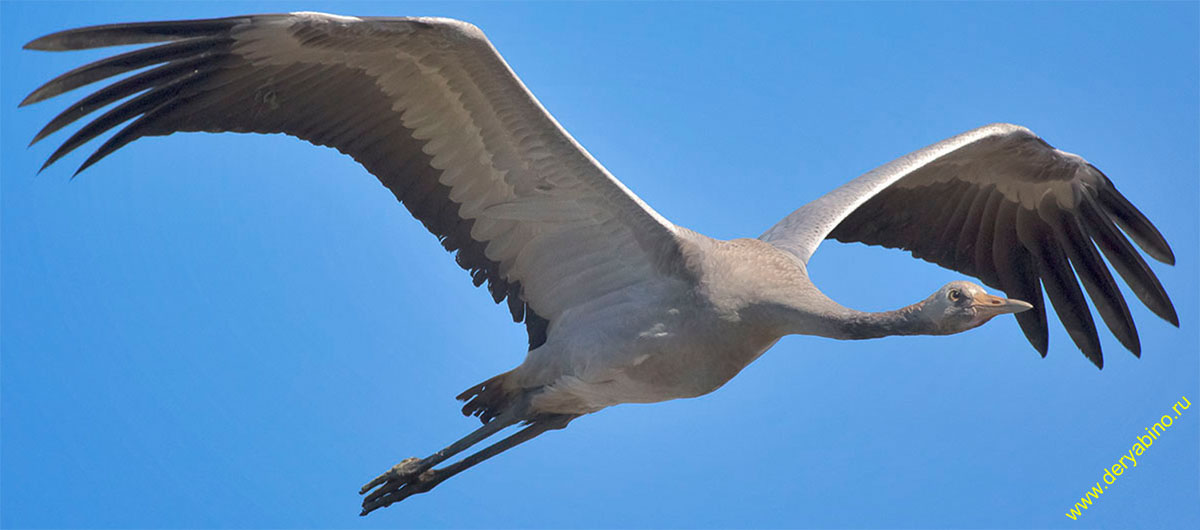 Серый журавль Grus grus Common Crane