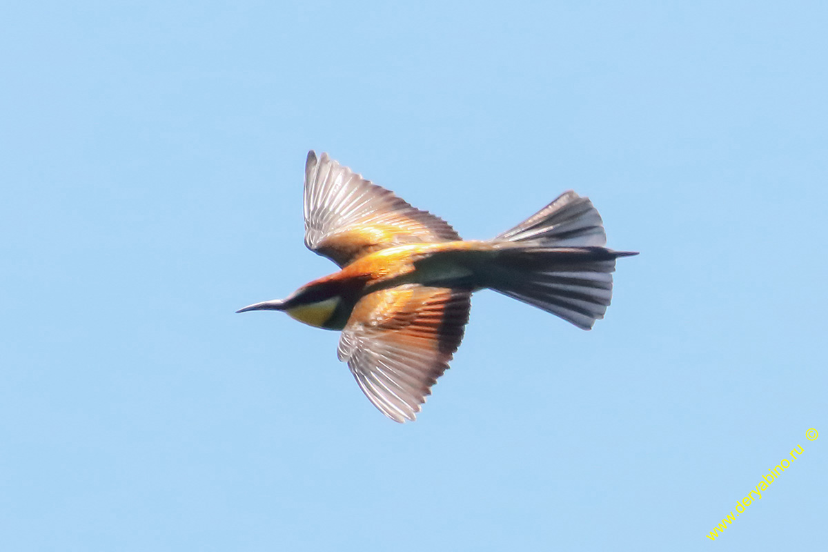 Золотистая щурка Merops apiaster European Bee-eater