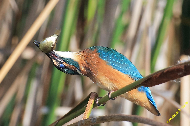 Зимородок Alcedo atthis Common Kingfisher