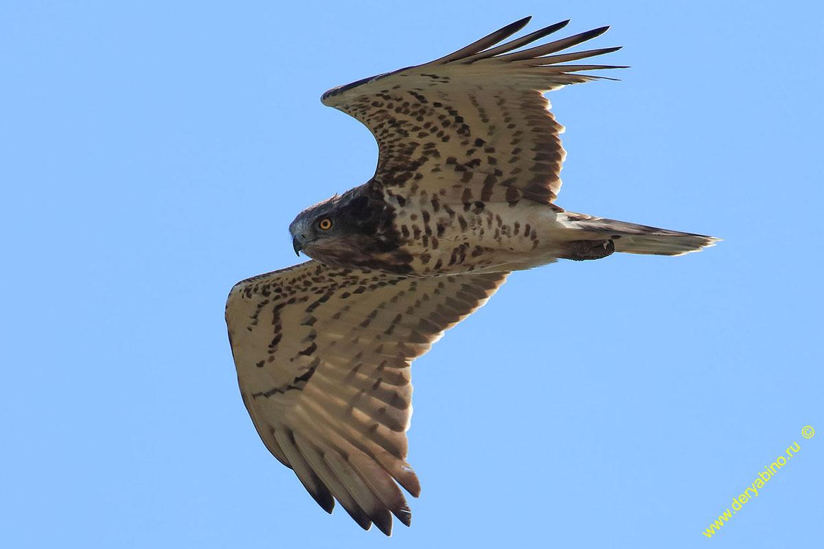 Змееяд Circaetus gallicus Short-toed Snake Eagle